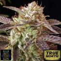 BC Kush FEMINIZED Seeds (BC Bud Depot)