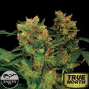 Blue Hash Feminized Seeds (Dinafem)