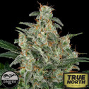 Cheese Feminized Seeds  (Dinafem)