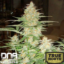 60 Day Wonder AUTOFLOWERING FEMINIZED Seeds (DNA Genetics)