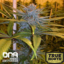 Exodus Kush FEMINIZED Seeds (DNA Genetics)