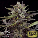 Auto Blueberry Feminized Seeds (Dutch Passion)