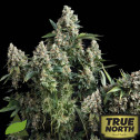 Tutankhamon FEMINIZED Seeds (Pyramid Seeds)