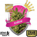 Critical Feminized Seeds (Royal Queen Seeds)