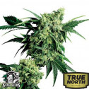 Mr Nice G13 x Hash Plant REGULAR Seeds (Sensi Seeds)