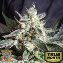 Black Jack FAST Version Feminized Seeds (Sweet Seeds)