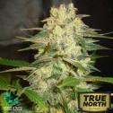 Afghan Kush Ryder Autoflowering Feminized Seeds (World of Seeds)