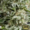 AUTO Amnesia Gold FEMINIZED Seeds (Pyramid Seeds)