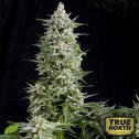 Amnesia Gold FEMINIZED Seeds (Pyramid Seeds)