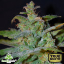 Auto AK Feminized Seeds (Female Seeds)