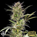 AUTO Blueberry FEMINIZED Seeds (G13 Labs)