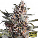 AutoBlackberry Kush Feminized Seeds (Dutch Passion)