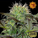 Bad Azz Kush Feminized Seeds (Barney's Farm)