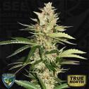 Banana Candy Krush FEMINIZED Seeds (T.H. Seeds)
