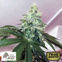 Banger Glue FEMINIZED Seeds (Little Chief Collabs)