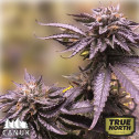 Black Amnesia Haze Fast Feminized Seeds (Canuk Seeds)