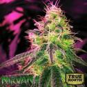 Black Jack FEMINIZED Seeds (Nirvana Seeds)