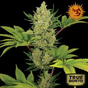 Blue Cheese Auto Feminized Seeds (Barney's Farm)