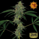 Blue Mammoth Auto Feminized Seeds (Barney's Farm)