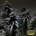 Blue Sherbert S1 FEMINIZED Seeds (The Plug Seedbank)