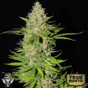 Blueberry Gum #2 FEMINIZED Seeds (G13 Labs)