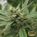 Blueberry Headband AUTO FEMINIZED Seeds (Emerald Triangle)