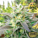 Blueberry Headband CBD FEMINIZED Seeds (Emerald Triangle)