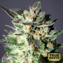Bruce Banner x White Russian Feminized Seeds (Prism Seeds)