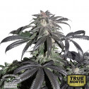 Bubba Island Kush Feminized Seeds (Dutch Passion)