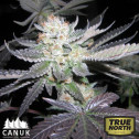 Bubba Kush Feminized Seeds (Canuk Seeds)