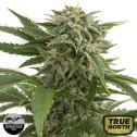 Bubba Kush Autoflowering Feminized Seeds (Dinafem)
