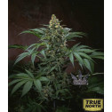 Bubble Gum Feminized Seeds (THSeeds)