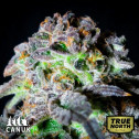 Canuk Cookies AUTO FEMINIZED Seeds (Canuk Seeds)