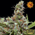 CBD Blue Shark Feminized Seeds (Barney's Farm)