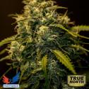 CBD + Jack Diesel FEMINIZED Seeds (Positronics Seeds)