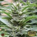 Cookies x 707 Headband FEMINIZED Seeds (Emerald Triangle)