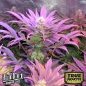 Cream Automatic Feminized Seeds (BlimBurn Seeds)