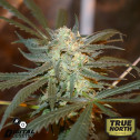 Creamy Berry Blue REGULAR Seeds (Digital Genetics)