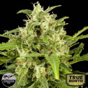 Critical + Automatic Feminized Seeds (Dinafem)