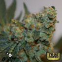 Digital Gorilla REGULAR Seeds (Digital Genetics)