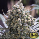 Fast Flowering Green Crack Feminized Seeds (Humboldt Seed Org)
