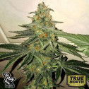 Forbidden Fruit Cake FEMINIZED Seeds (The Plug Seedbank)