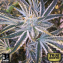 Fruit Tree FEMINIZED Seeds (Cali Connection)