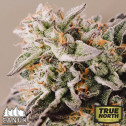 Gelato Auto Feminized Seeds (Canuk Seeds)