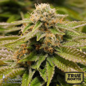 Gorilla Breath Feminized Seeds (Humboldt Seed Org)