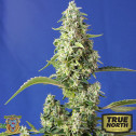 Gorilla Girl XL Auto Feminized Seeds (Sweet Seeds)