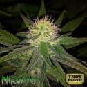 Hawaii Maui Waui REGULAR Seeds (Nirvana Seeds)