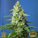 Honey Peach Auto CBD Feminized Seeds (Sweet Seeds)