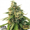 LSD Auto Feminized Seeds (Canuk Seeds)