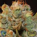 MK-Ultra Kush x Bubble Feminized Seeds (T.H. Seeds)